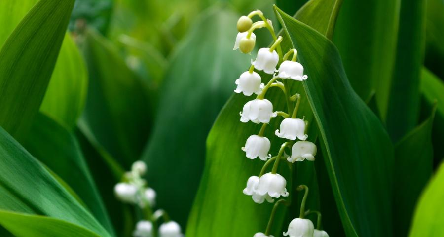növényi méreganyagok